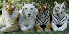 جميع أنواع النمور المختلفة