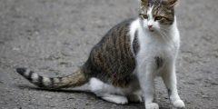 الفصال العظمي للقطط
