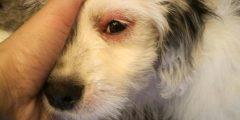 التهاب ملتحمة الكلاب