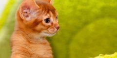 نزلات البرد في القطط (أو الأنفلونزا)