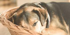 التهاب المعدة والأمعاء في الكلاب